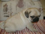 LOVEL PUG PUPPIES  LOOKING FOR NEW HOME