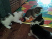 KITTENS FOR SALE $20 LOVELY PERSONALITIES