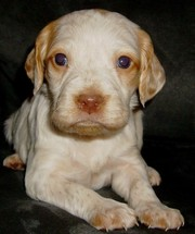 Children playmate Brittany Puppies For Sale
