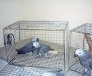 home train African grey Parrots