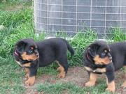 Vet Check Rottweiler Puppies For Re Homing.