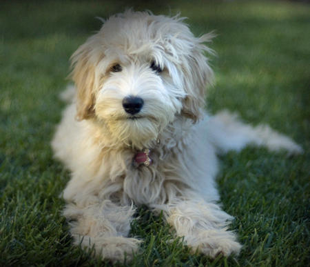 golden retriever mixed with a poodle. golden retriever mixed with a