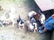 Dane X Mastif X  puppies for sale