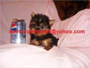 AKC Registered Male And Female Mary X-Max Baby Face Teacup Yorkie Pupp